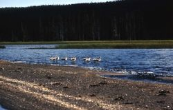 American Avocets on Shoshone Lake Photo