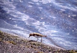 Sanderling on shore Photo