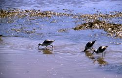 Three Avocets foraging in Trout Creek, Hayden Valley Photo