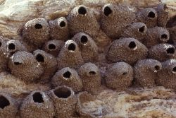 Cliff Swallow nests Photo