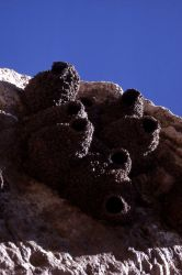 Cliff Swallow nests on Soda Butte Photo