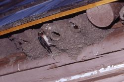 Cliff Swallow & nest on building Photo