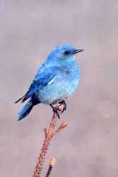 Male Mountain Bluebird Photo