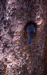 Male Mountain Bluebird at nest Photo