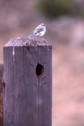 Female Mountain Bluebird on post Photo