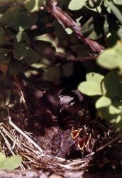 MacGillivrary's Warbler & nestling Photo