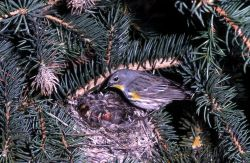 Yellow-rumped Warbler standing on nest with young Photo