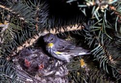 Yellow-rumped Warbler standing on nest with youn Photo