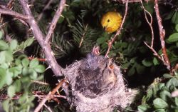 Yellow Warbler feeding young Photo