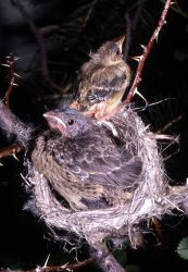 Young Yellow Warbler in nest Photo