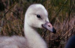 Trumpeter swan cygnet Photo