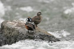 Male & female Harlequin Ducks at LeHardy Rapids Photo