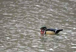 Male wood duck, Livingston,MT Photo
