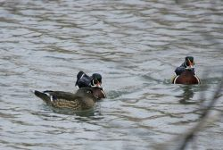 Female and two male wood ducks, Livingston,MT Photo