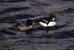 Barrow's goldeneye hen & drake Photo