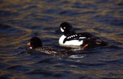 Barrow's goldeneye drake & hen Photo