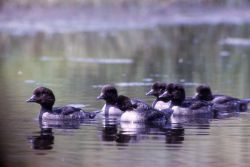 Immature barrow's goldeneye Photo