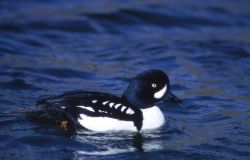 Barrow's goldeneye drake Photo