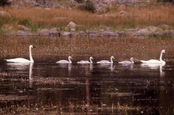 Trumpeter swan adult & four cygnets Photo