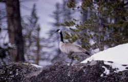 Adult canada goose in winter Photo