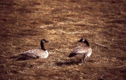 Canada goose pair Photo