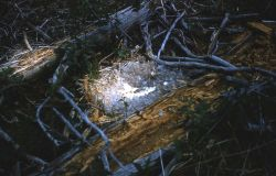 Unknown duck nest Photo