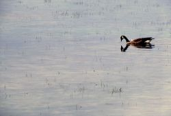 Canada goose on Alum Creek Photo