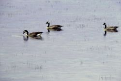 Three canada geese on Alum Creek Photo