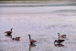 Five canada geese on Alum Creek Photo