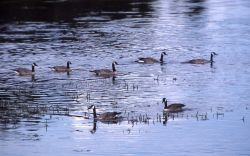 Seven canada geese on Yellowstone River Photo