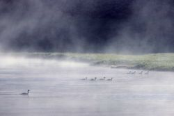 Nine canada geese in the morning in Hayden Valley Photo