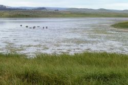 Eight canada geese in the morning in Hayden Valley Photo