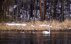 Trumpeter swan & three canada geese on the Madison River Photo