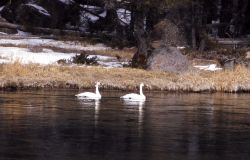 Trumpeter swan pair & canada goose pair Photo