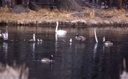 Trumpeter swan & three canada geese Photo