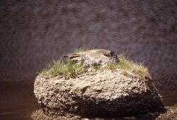 Canada goose on nest Photo
