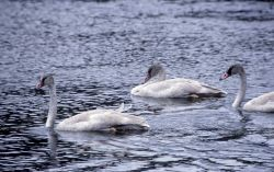 Trumpeter swan with three immatures Photo
