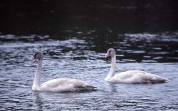 Trumpeter swan with two immatures Photo