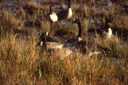 Seven canada geese foraging Photo