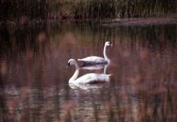 Trumpeter swan pair on pond below Mammoth Hot Springs Photo