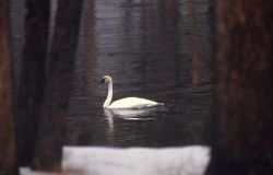 Trumpeter swan on Madison River Photo