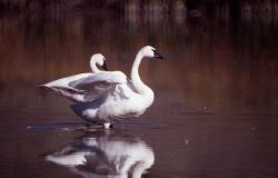 Trumpeter swan pair Photo