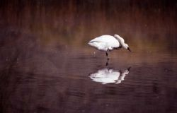Trumpeter swan standing in river Photo