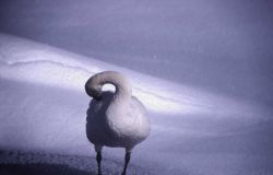 Tundra swan on the snow Photo