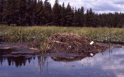 Trumpeter swan nest Photo