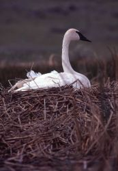 Female trumpeter swan on nest Photo