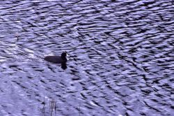 Coot on Floating Island Lake Photo