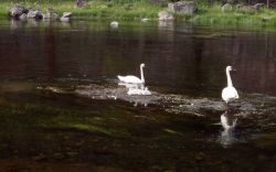 Trumpeter swan pair & cygnets Photo
