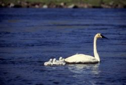 Trumpeter swan with cygnets Photo