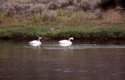 Trumpeter swans on Madison River Photo